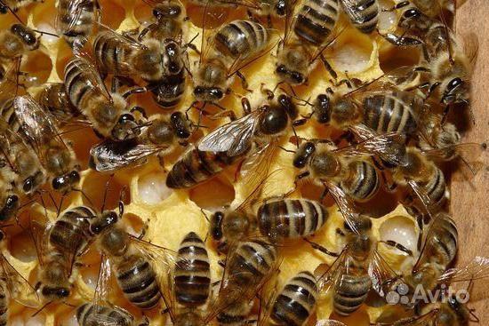 Пчелы породы Карника (краинка) в Советске - фотография № 1