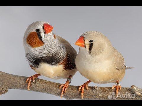 Попугаи молодые, джунгарские хомяки, амадины в Джанкое - фотография № 5