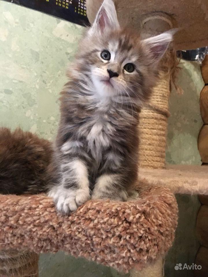 Самые лучшие. Крупные котята Мейн кун в Люберцах - фотография № 7