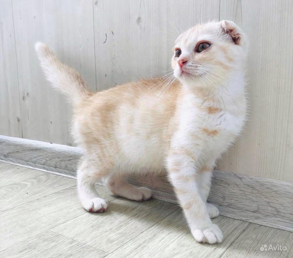 Подам Шотландского вислоухого котёнка