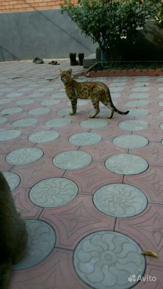 Порода бенгальский кот 2 года 5 месяцев