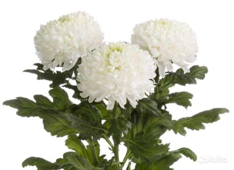 Хризантемы купить на Зозу.ру - фотография № 3
