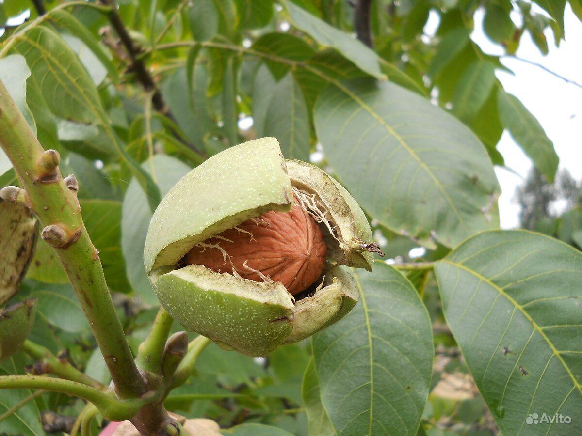 Саженцы ореха грецкого купить на Зозу.ру - фотография № 1