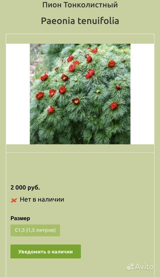 Пион Воронец Пион узколистный купить на Зозу.ру - фотография № 2