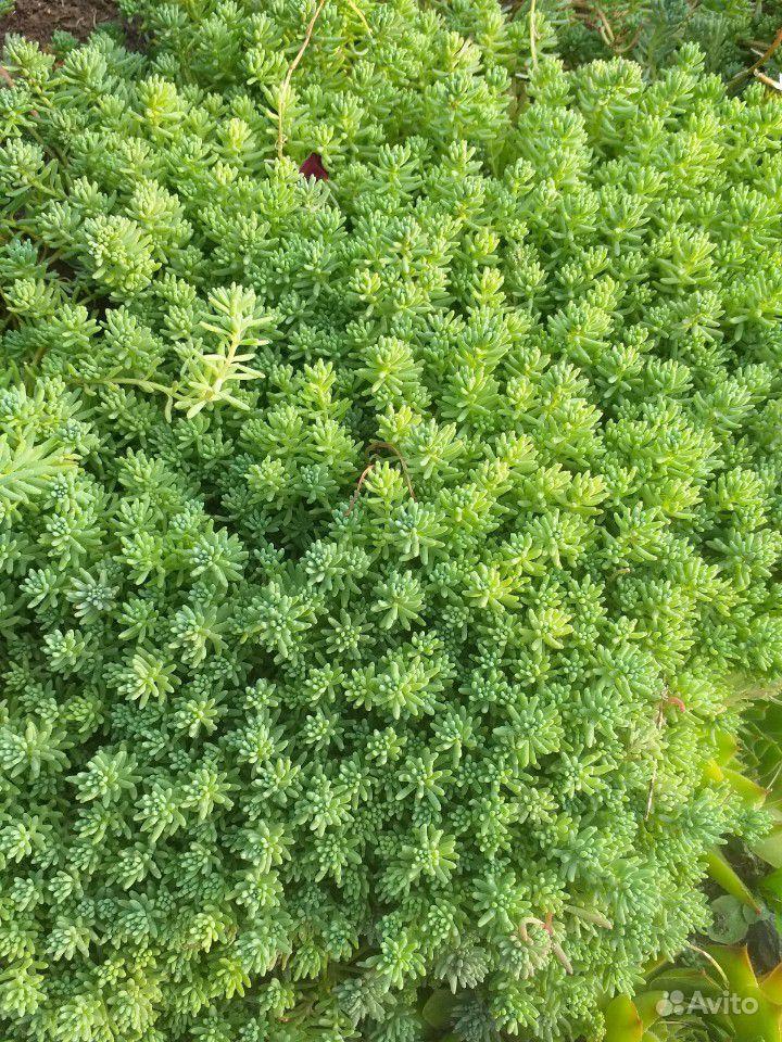 Почвопокровные растения купить на Зозу.ру - фотография № 3