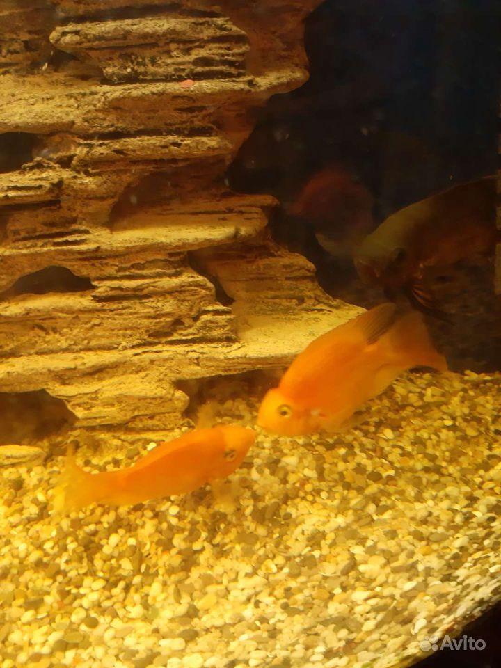 Рыбы купить на Зозу.ру - фотография № 3