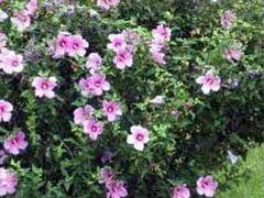 Гибискус, Роза сирийская