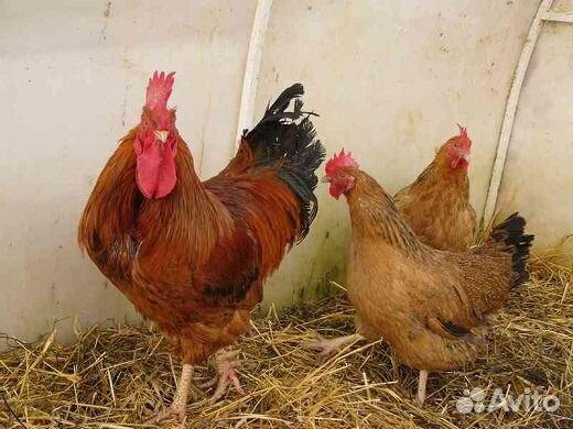 Купить инкубационное яйцо в воронеже и области