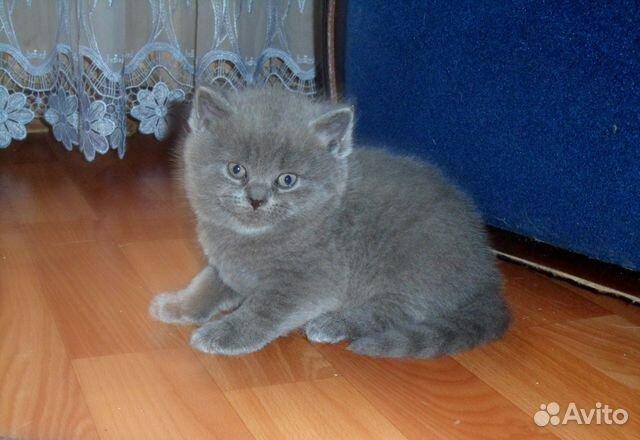 Британский клуб кошек британские котята, британские кошки ...