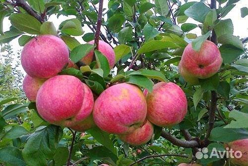 саженцы яблонь на вднх купить