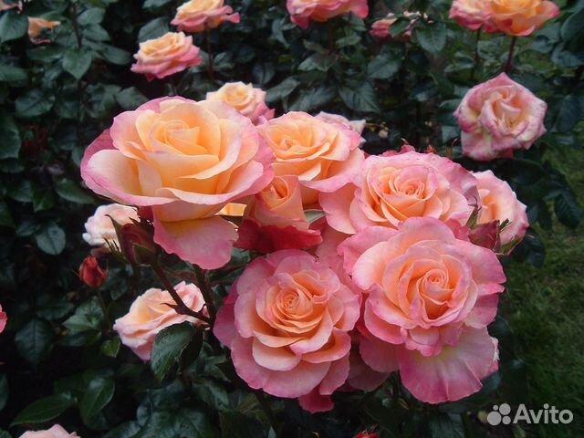 Воронежские розы саженцы купить как заказать букет в крым из пскова