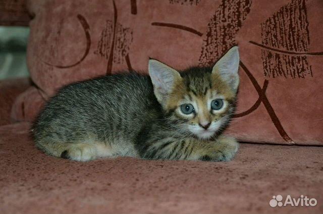 b5c00106605f0 Продам котёнка породы Чаузи - купить, продать или отдать в ...