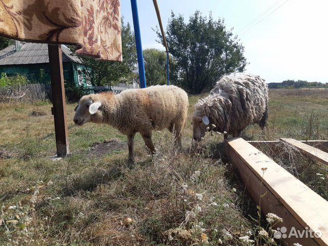 Молодой барашек, овца 89805285168 купить 1