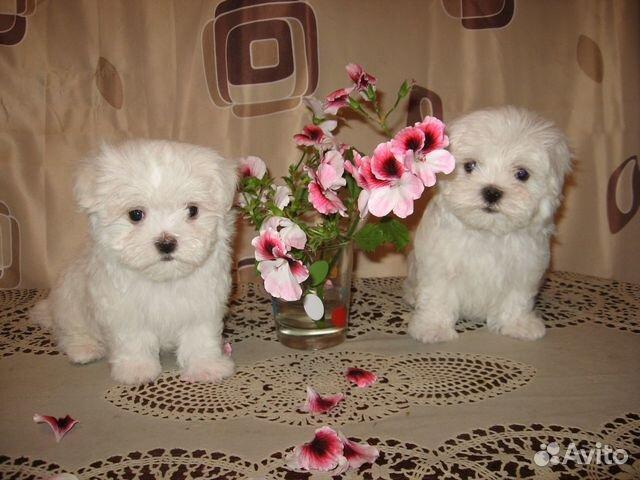 Продам щенков Мальтийских болонок купить на Зозу.ру - фотография № 2