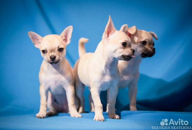 Чихуахуа щенки купить на Зозу.ру - фотография № 9