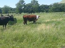 Бычки, телки коровы герефорды и абердин ангус