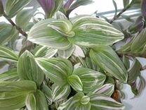Цветы домашние. Отростки — Растения в Рязани