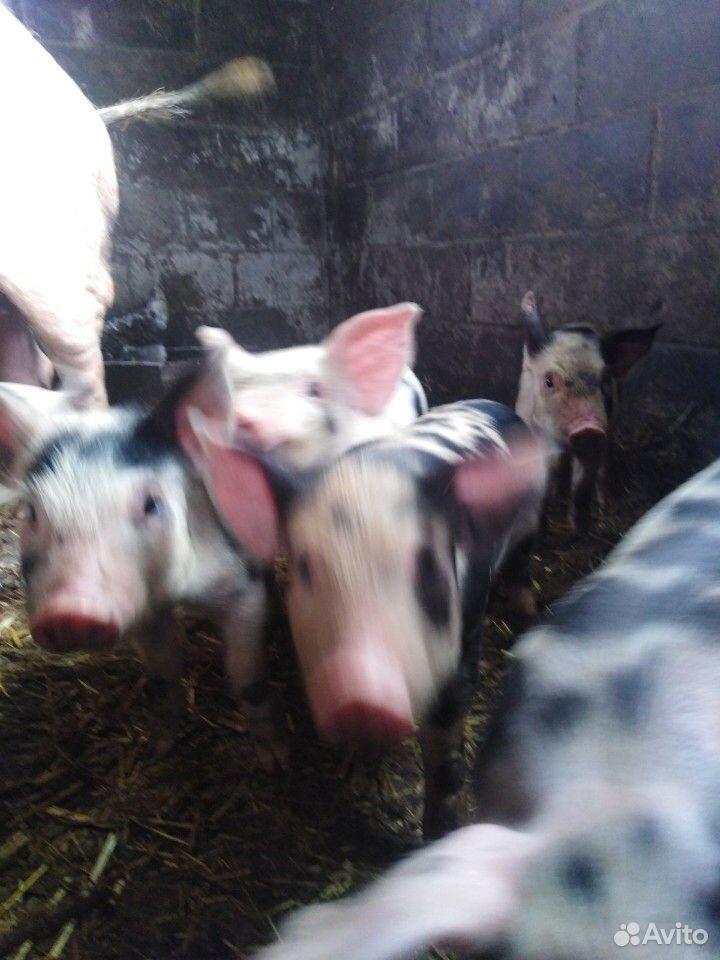 Sell pigs  89207000633 buy 1