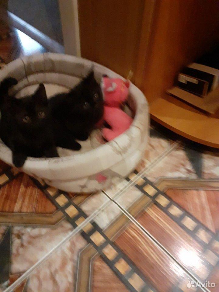 Чистокровные шотландские котята  89192207020 купить 3