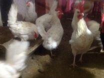 Цыплята Фавероль лососевая