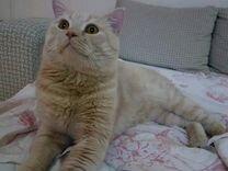 Вязка.персиковый британец ищет кошечку
