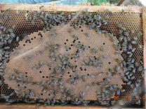 Семьи пчел (пчелопакеты) порода карника
