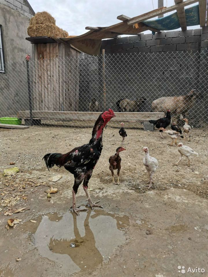 Птица  89673926069 купить 2