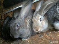 Кролики на мясо