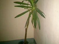 Пальма юкко