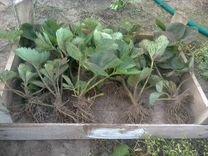 Клубника разных сортов — Растения в Великовечном