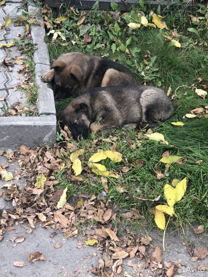 Собака  89960836461 купить 1