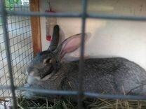 Продам крольчиху