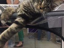 Котята мейн-кун чистокровные