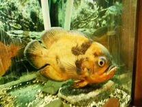 Оскар рыбка