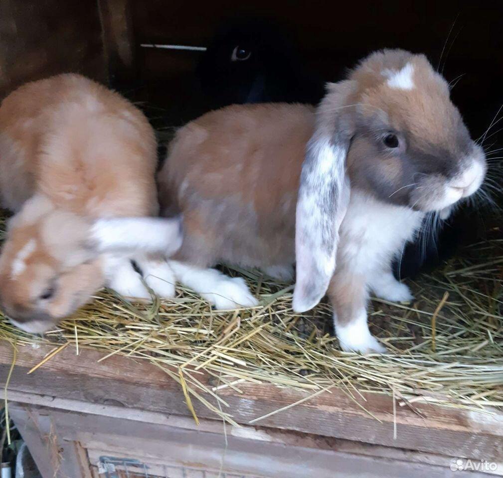 Кролики  89051057026 купить 3