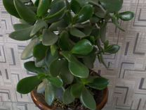 Денежное дерево (толстянка), Стопеллия