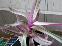 Фуксия,герань душистая сортовая, немантанус — Растения в Саратове
