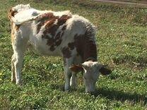 Корова тёлка